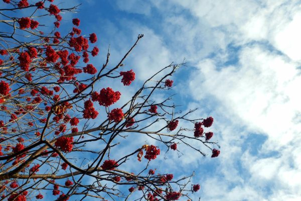 Mountain Ash Berries in Fall